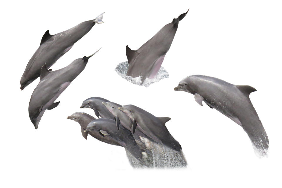 dolphin fish png images with transparent backgrounds #22023
