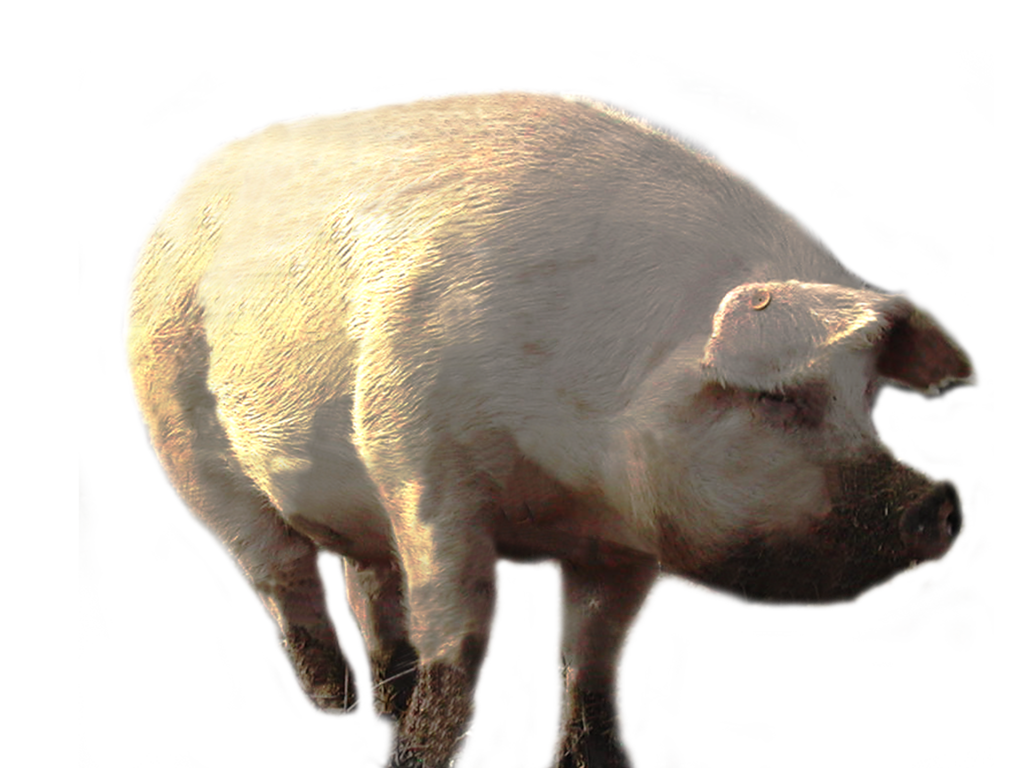 download pig png transparent images images #31754