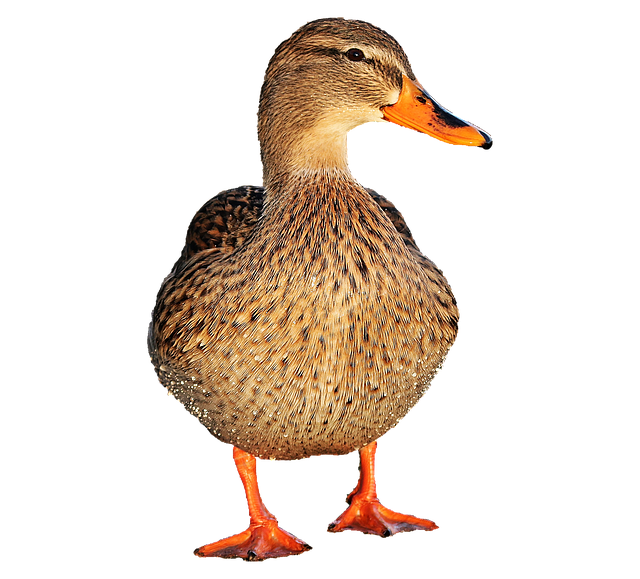 duck bird water photo pixabay #19424