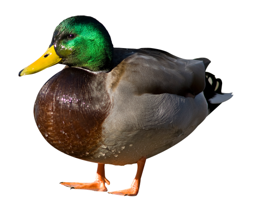 duck png transparent image pngpix #19471