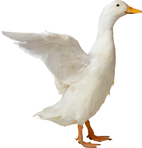 duck png transparent images png only #19417