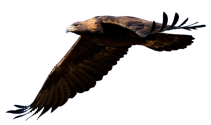 golden eagle png 15181