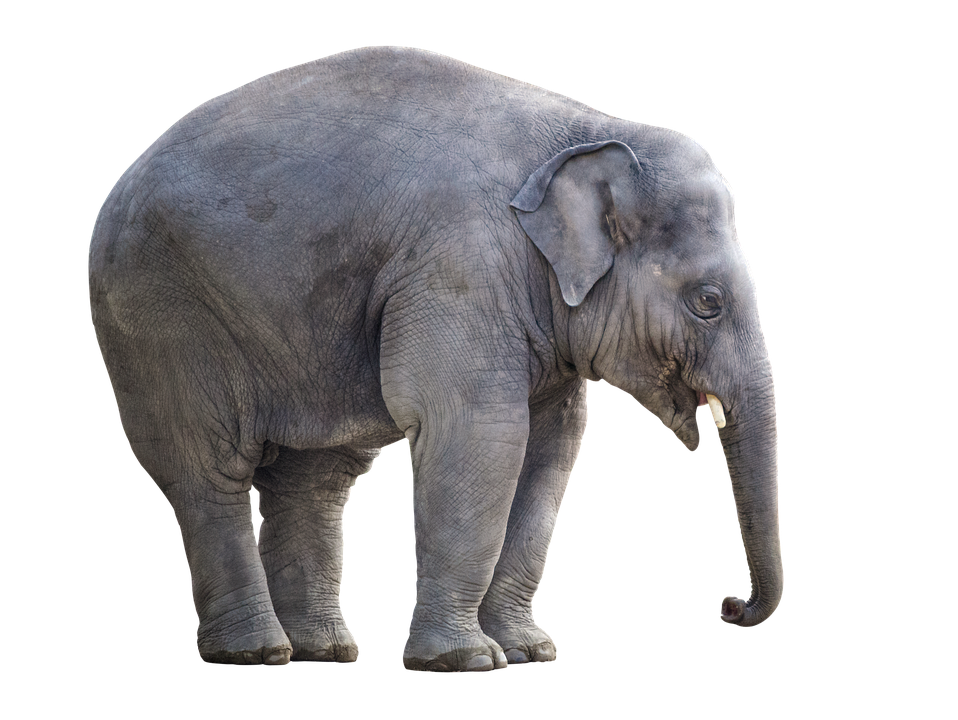 elephant white background isolated image pixabay #15836