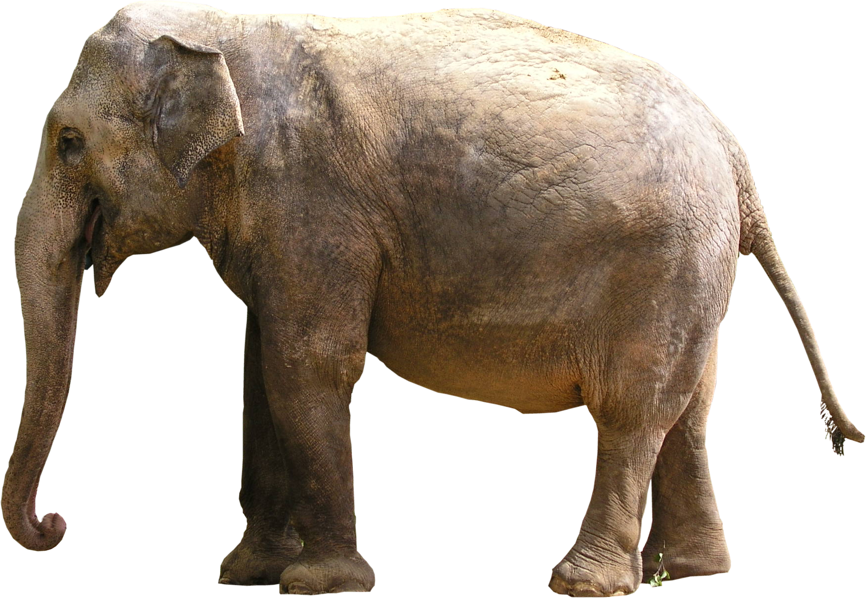 high qualityfauna png textures elephant png high #15852