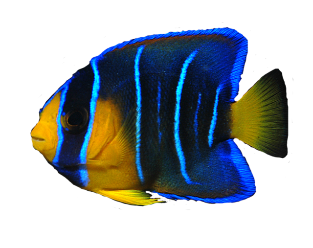 angel fish png transparent angel fish images