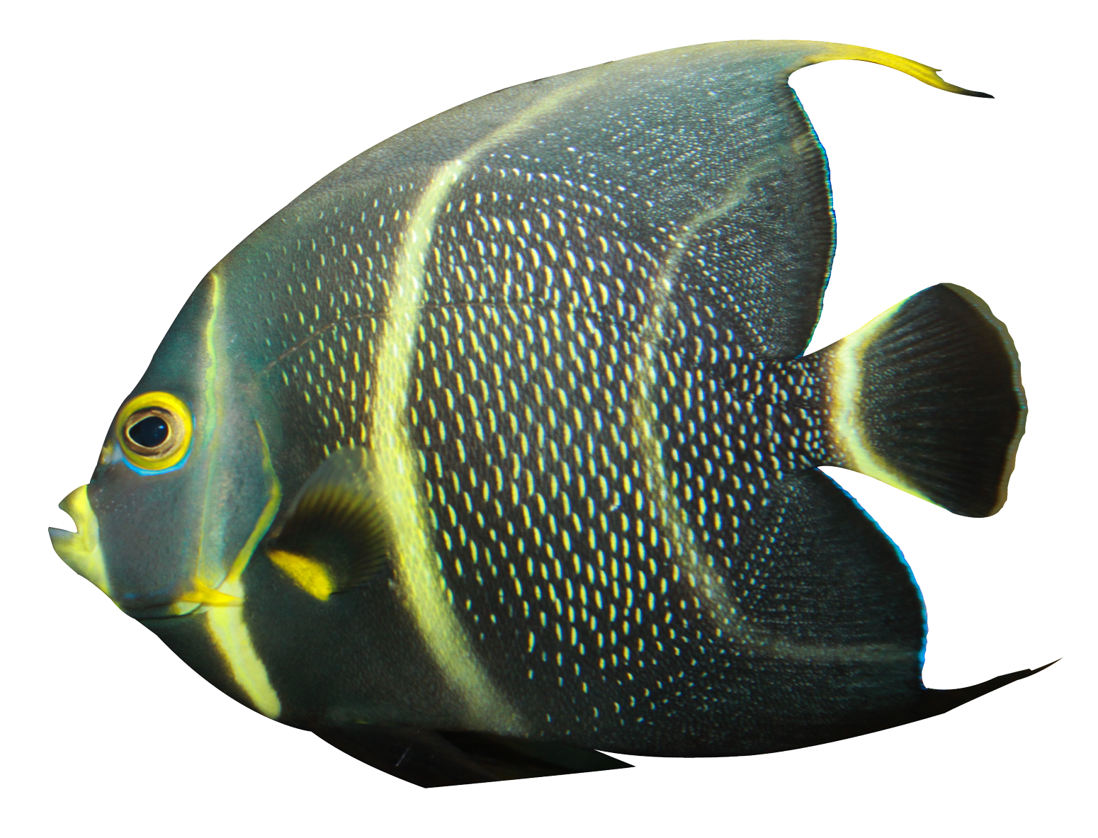 angelfish png transparent image pngpix