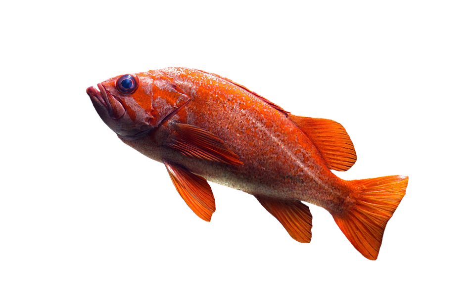 fish goldfish aquarium photo pixabay
