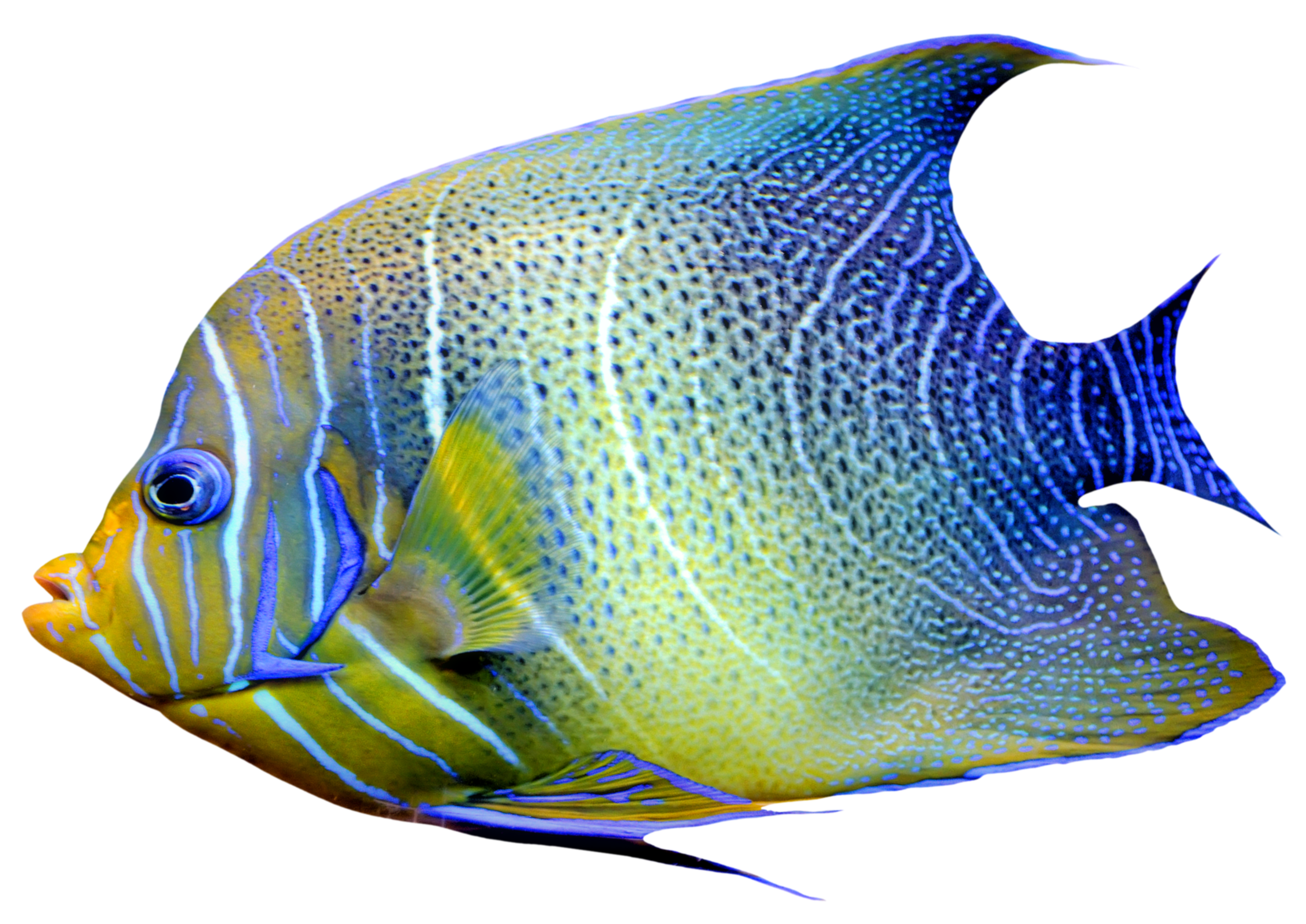 fish png images transparent pictures png only