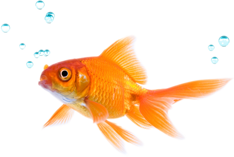 fish transparent png pictures icons and png backgrounds 11970