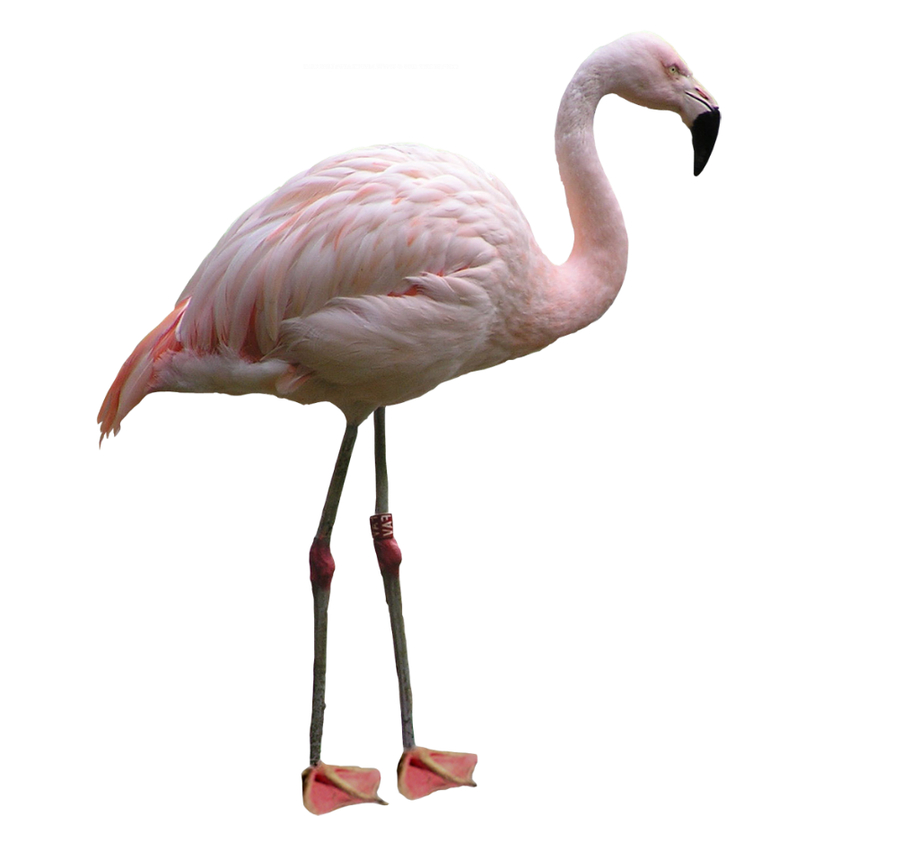 flamingo transparent png pictures icons and png #23145