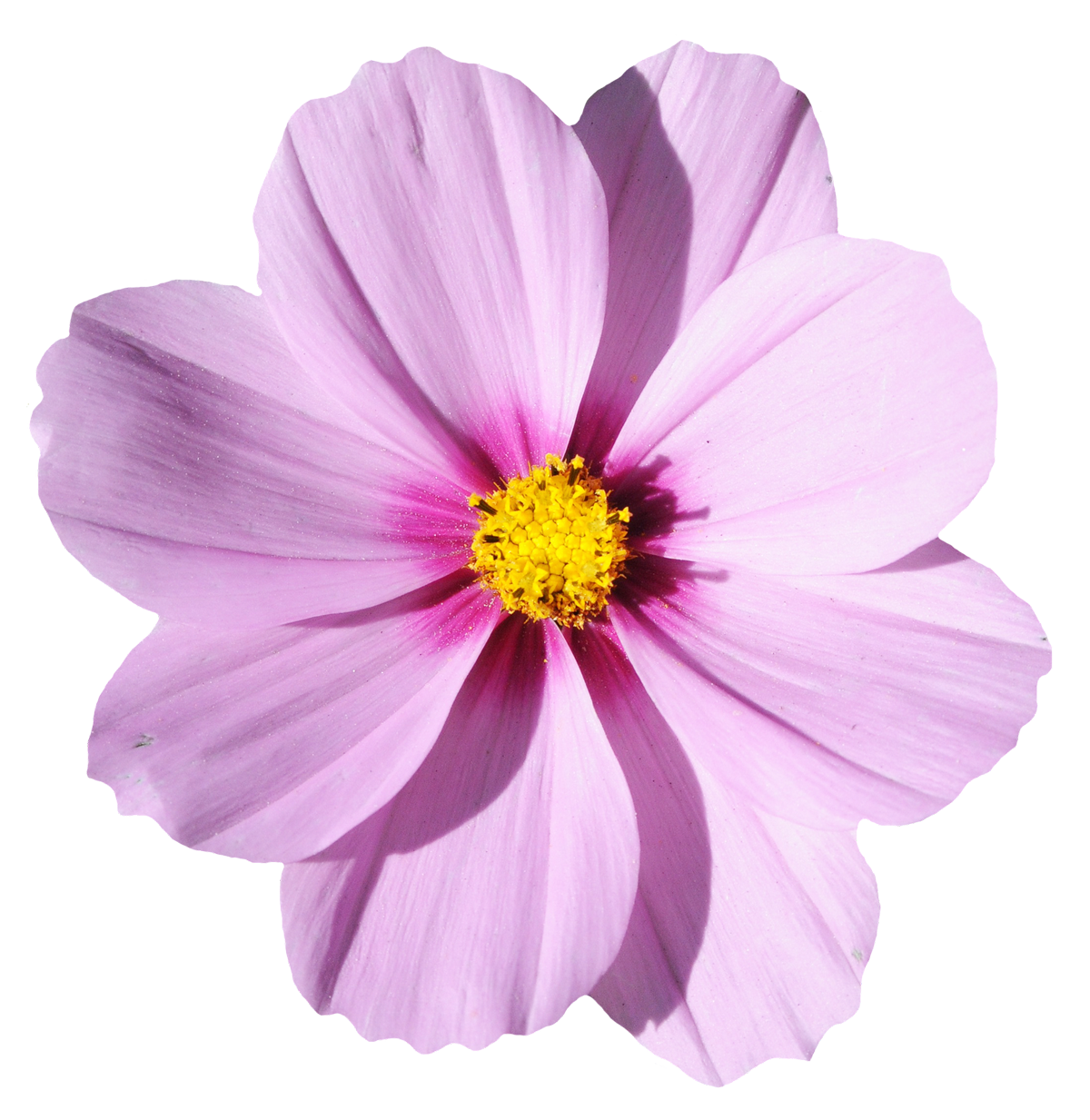 blossom flower transparent image #8177