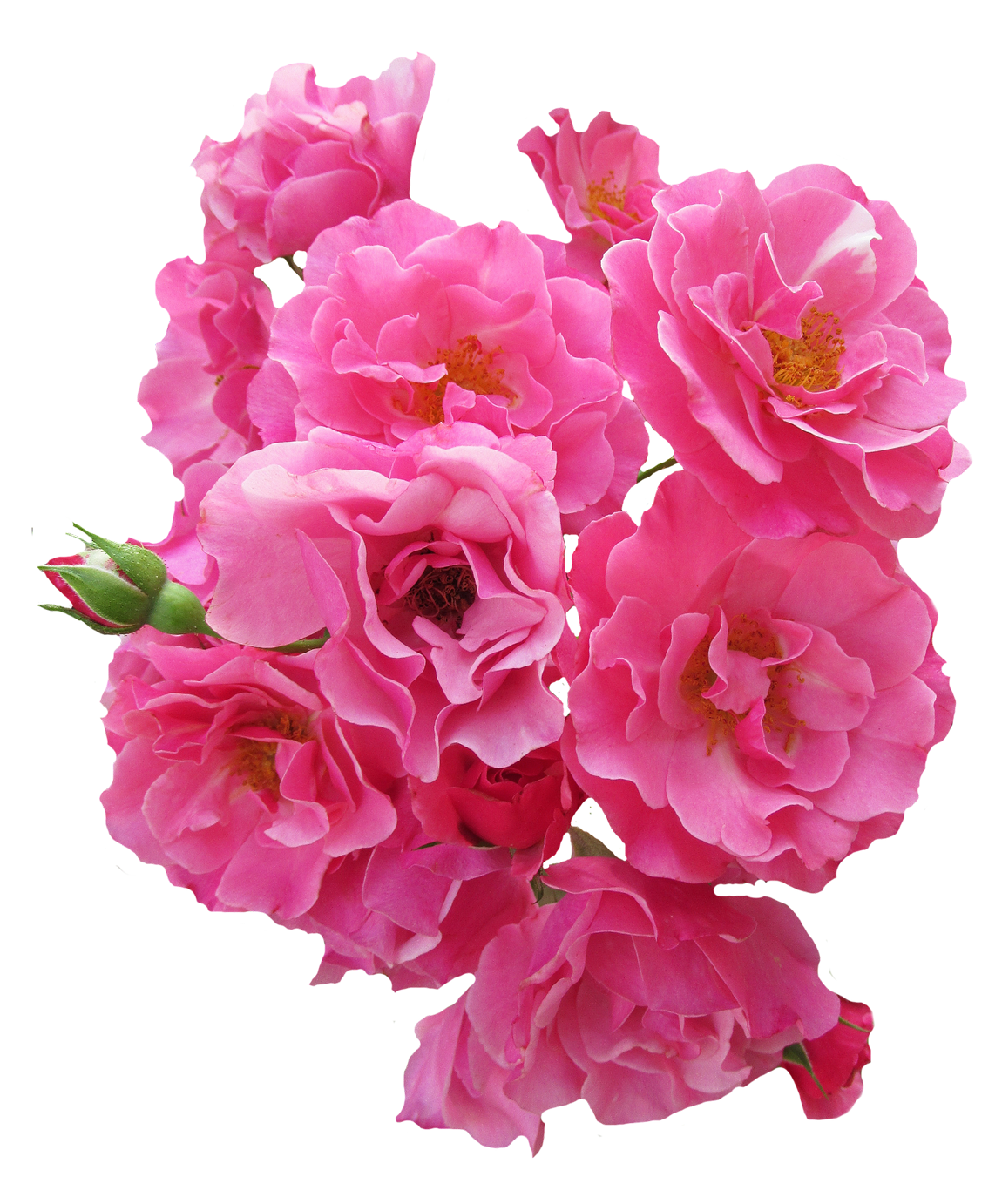 bunch pink rose flower image #8192