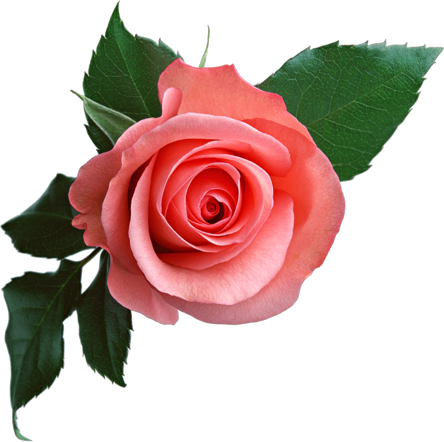 pink rose flower clipart #8188