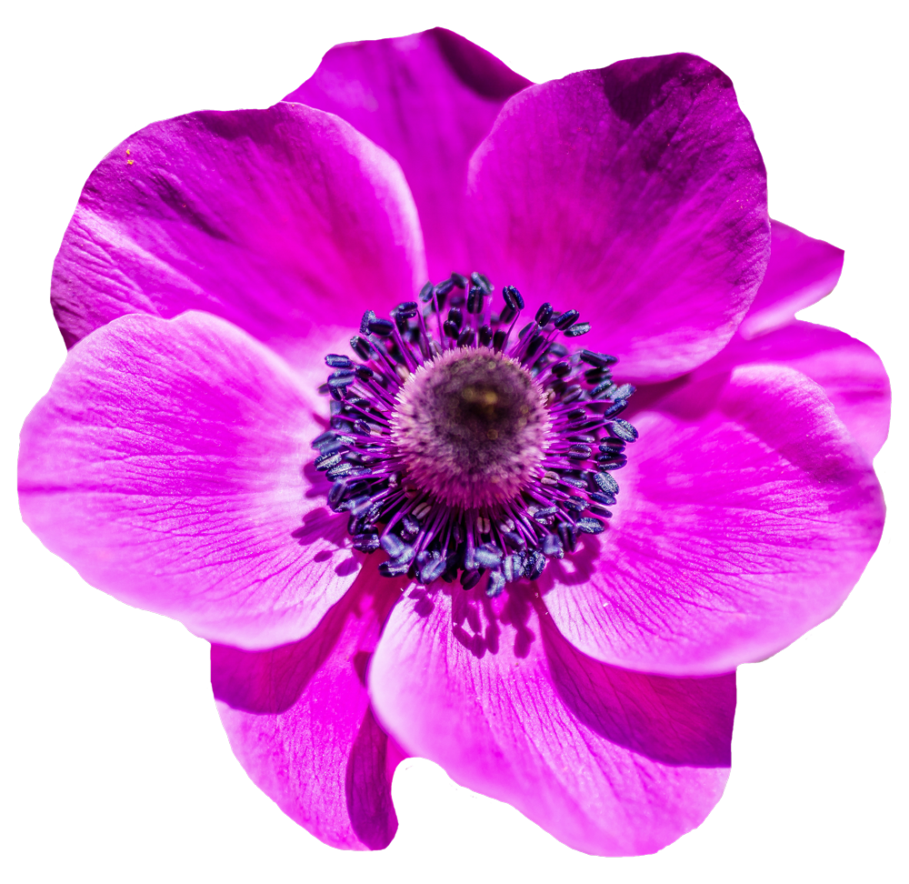 purple flower transparent png #8181
