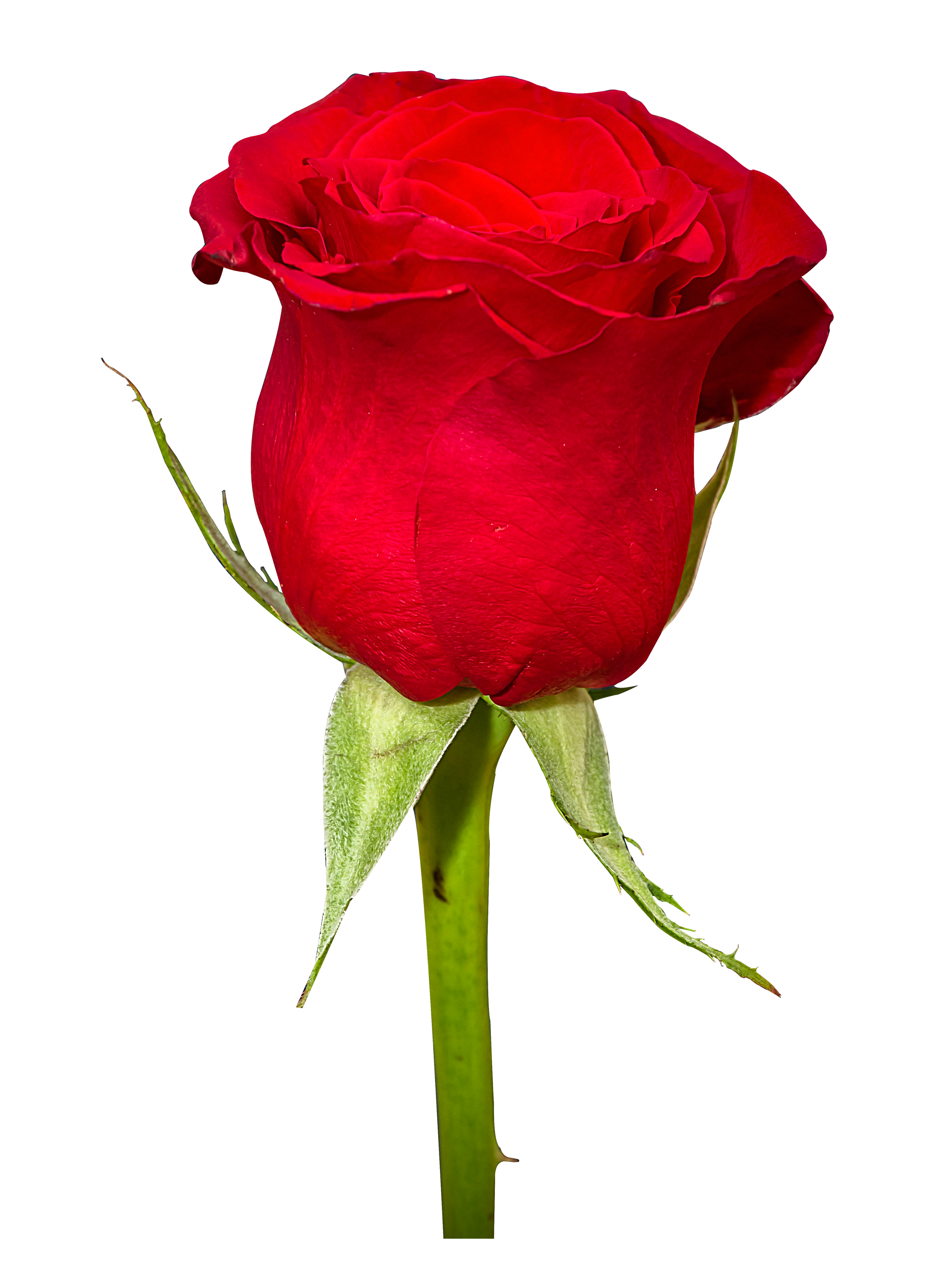 red rose flower image #8180