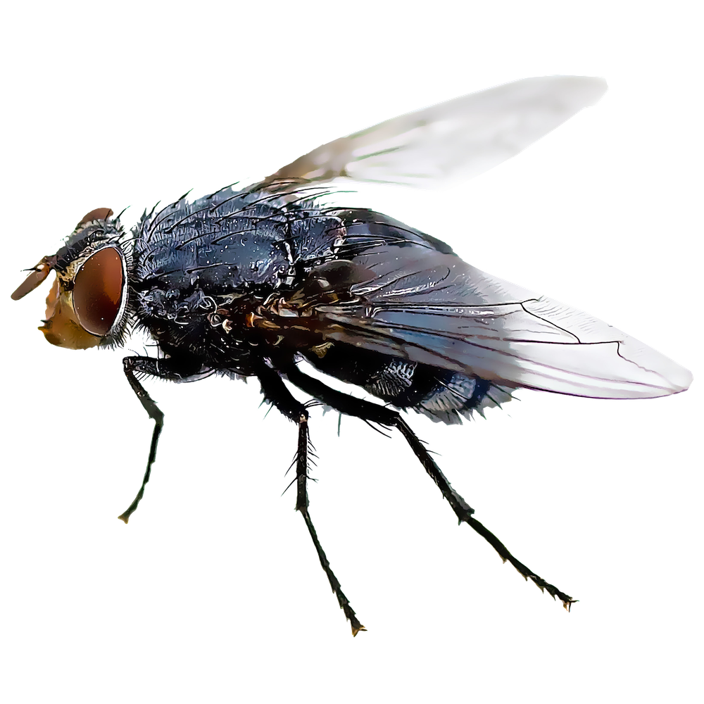 black fly insect mosquito housefly fly png download #35347