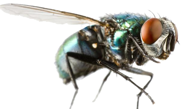 blue bottle fly transparent image png images #35339