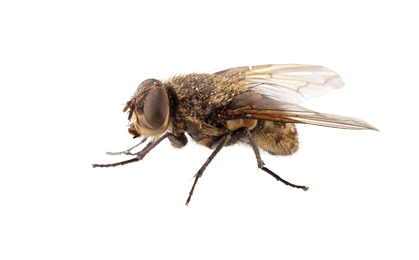 fly types flies fruit flies cluster flies house #35373
