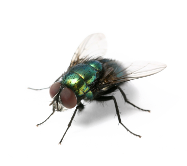 have flies pest problem leeds fly treatment pestserve #35364