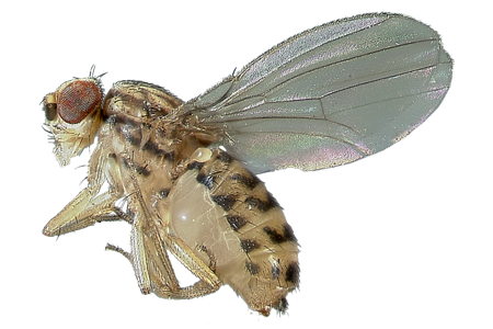 learn about fruit flies fruit fly identification #35370