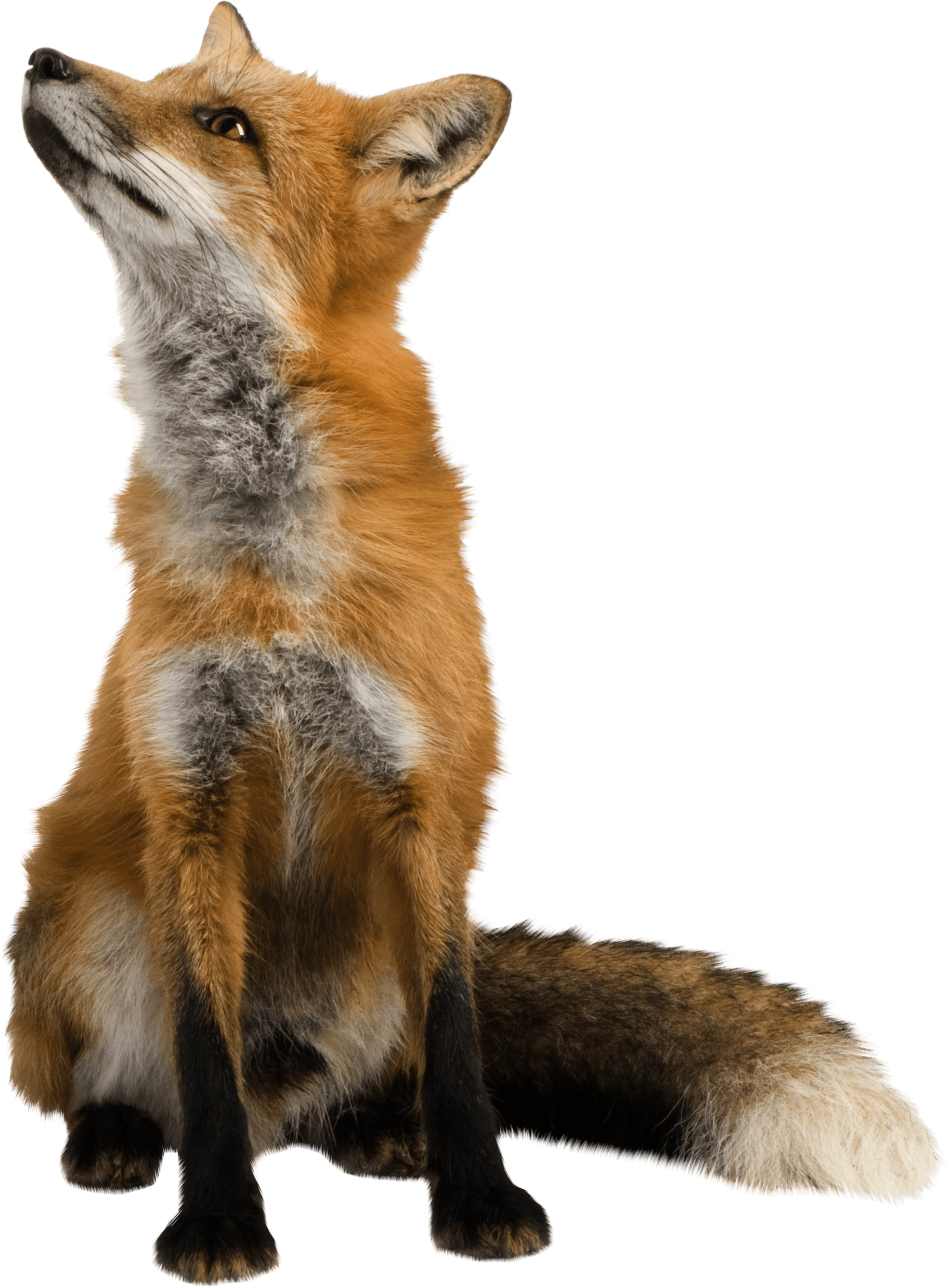 fox sitting png image purepng transparent png #28537