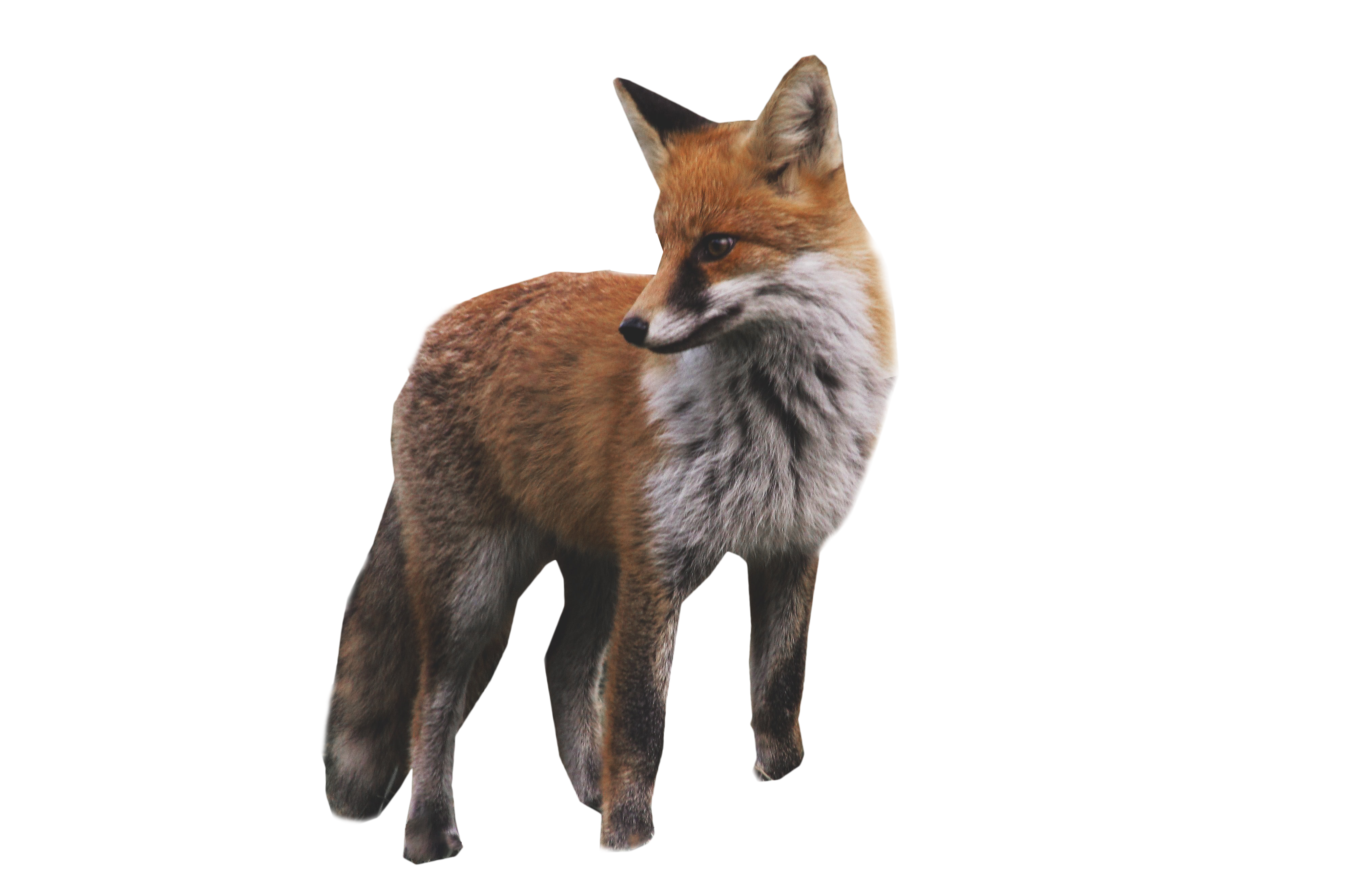 fox standing png image purepng transparent #28514