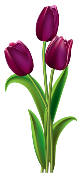 gambar bunga tulip tulips transparent png clipart picture gallery #35704