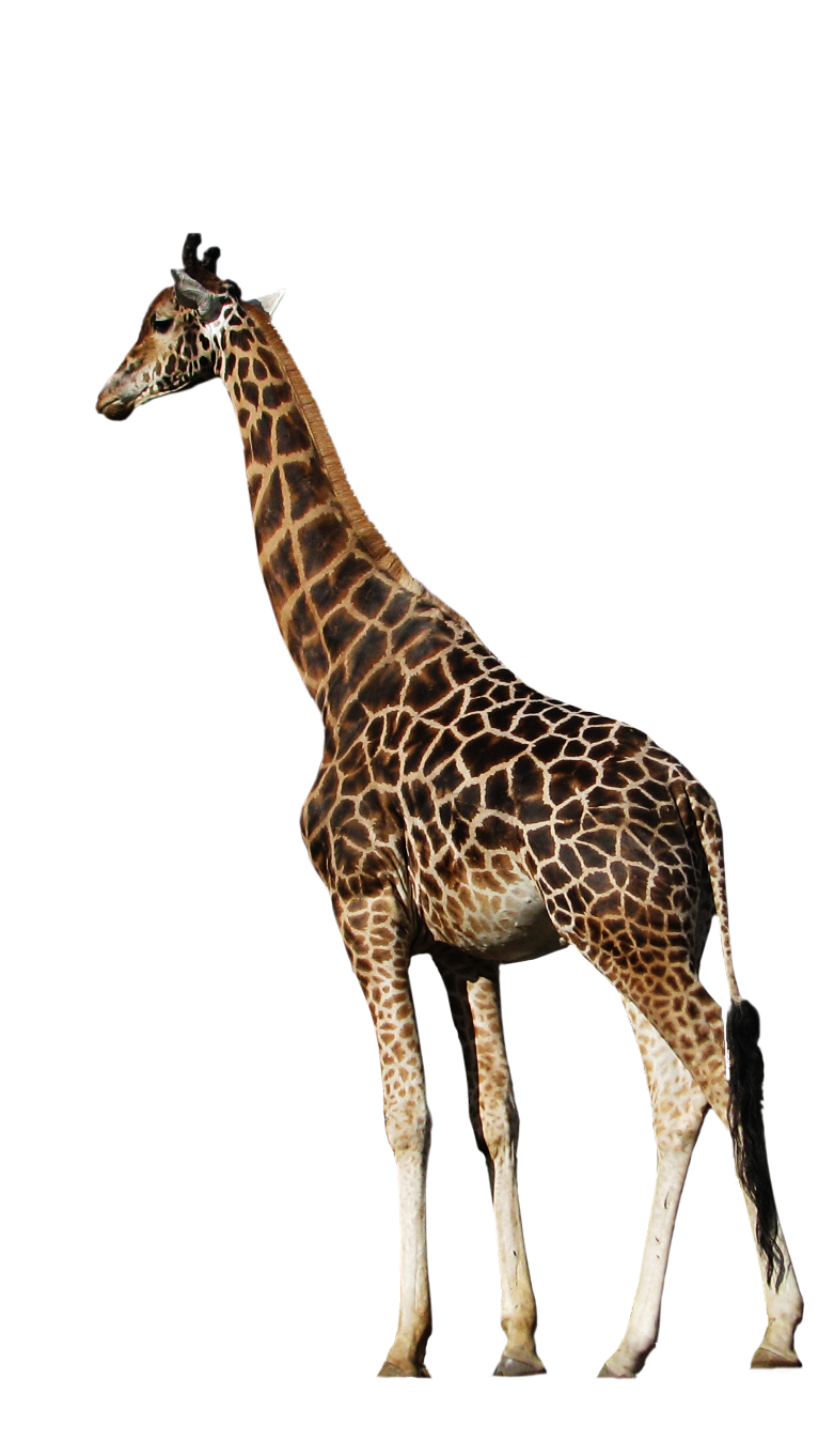 cut out png peaceful giraffe momotte #24964