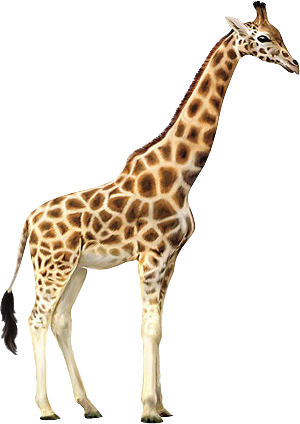 giraffe clipart transparent background pencil and #24958