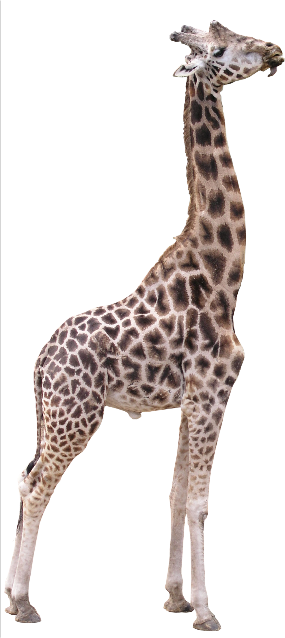 high quality giraffe png fauna png textures high #24963