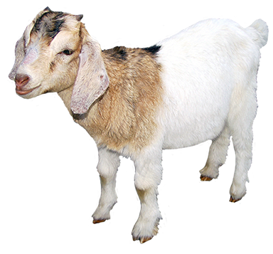 goat, animal clip art #16863