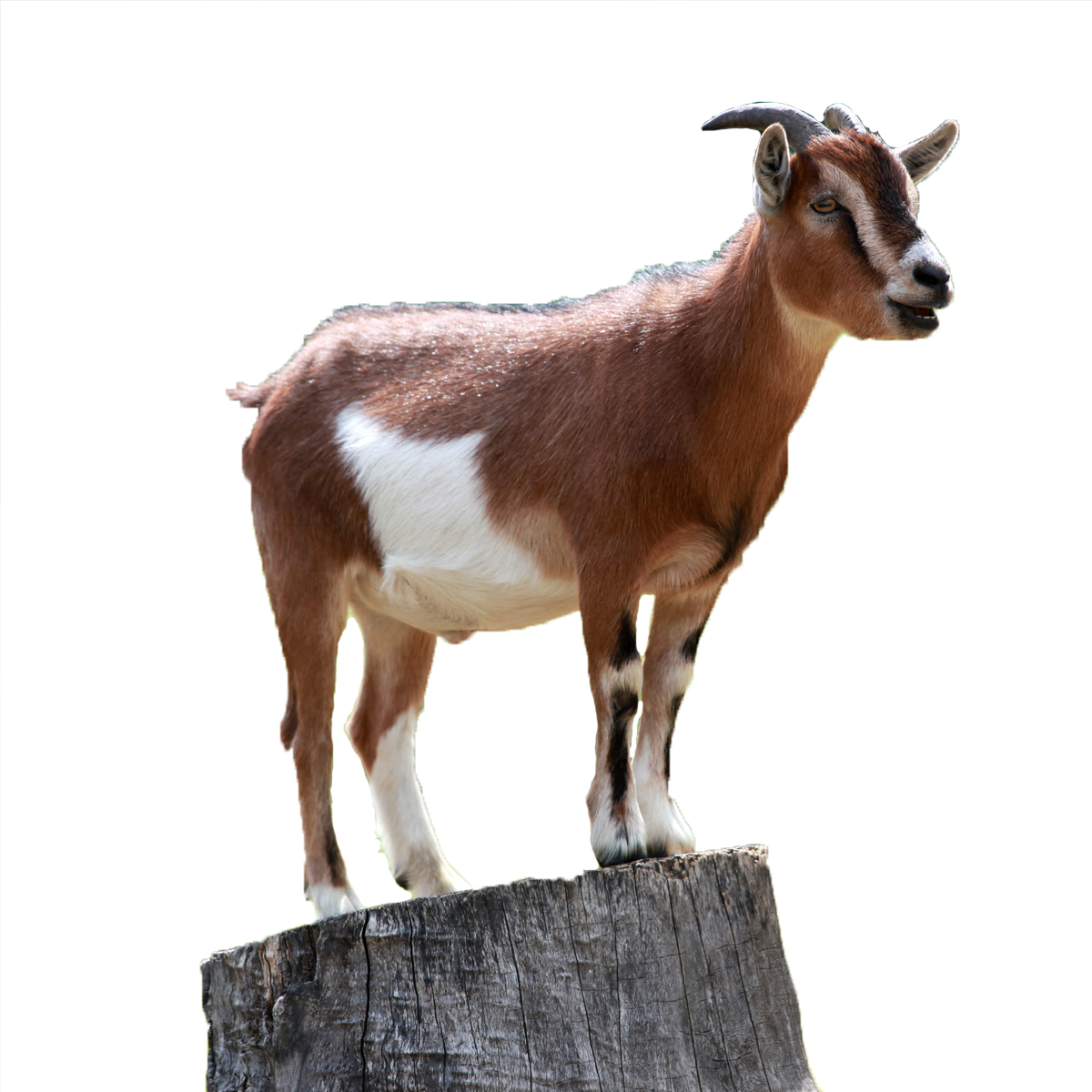 goat small kagerbet #16778