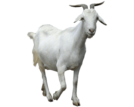 goat walking transparent png stickpng #16844