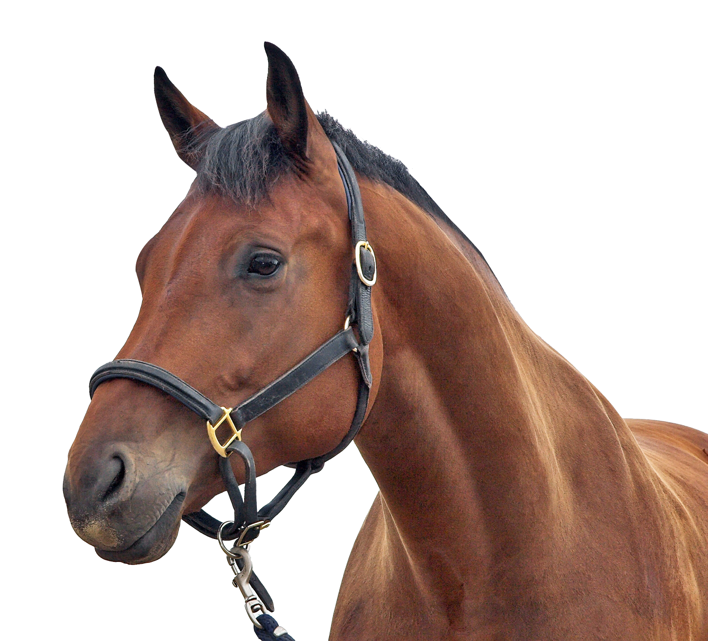 Horse Png Free Images Race Horse British Horse Horses Free Transparent Png Logos