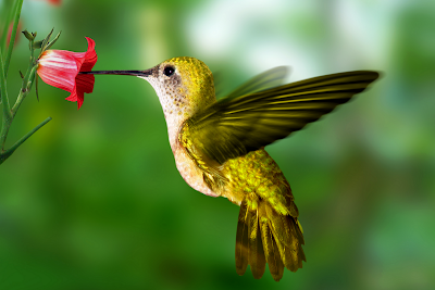 bird wallpaper hummingbird wallpaper #36793
