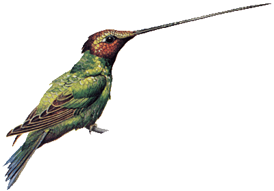 encyclopedian dictionary sword billed hummingbird #36817