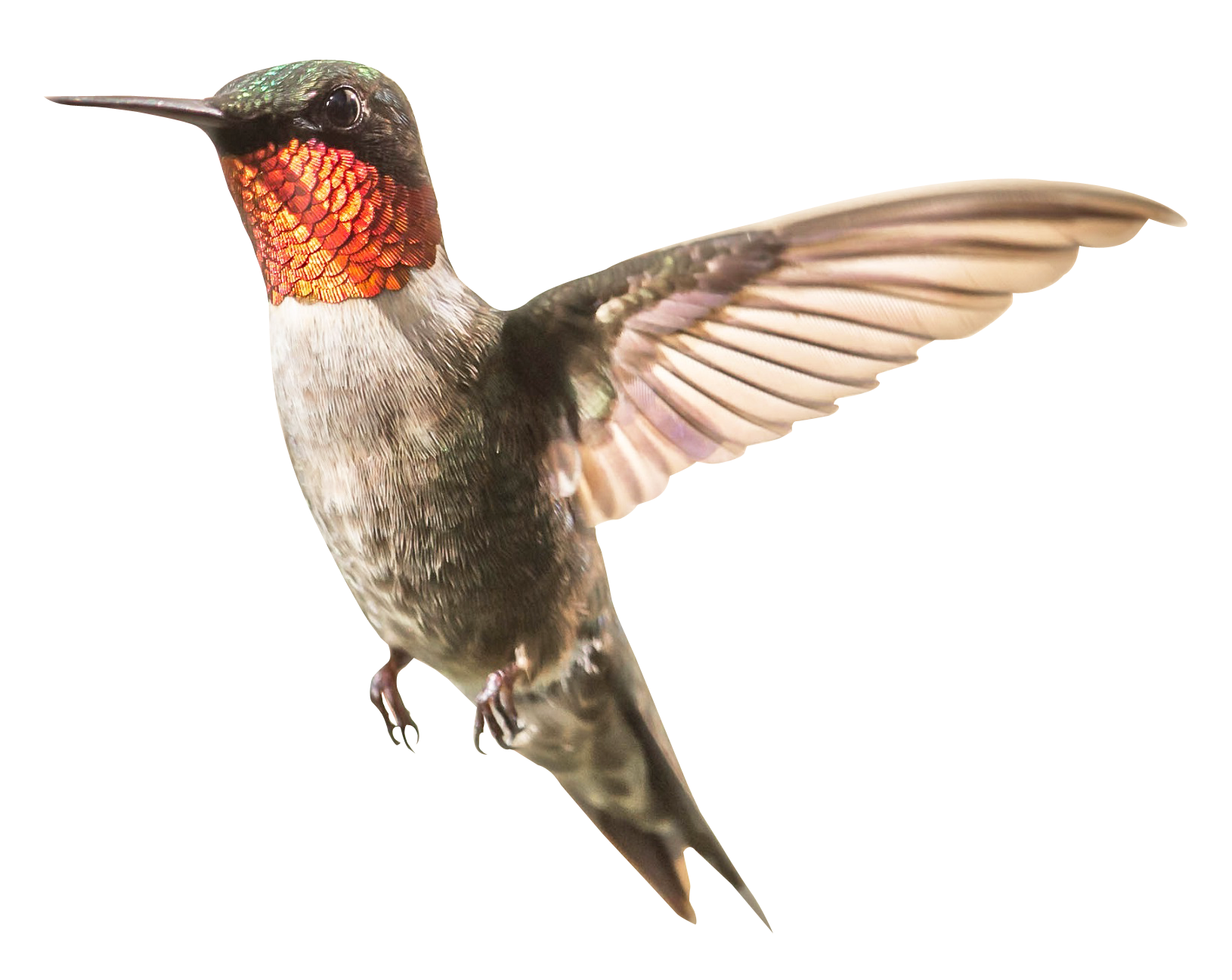 hummingbird png transparent images png only #36754