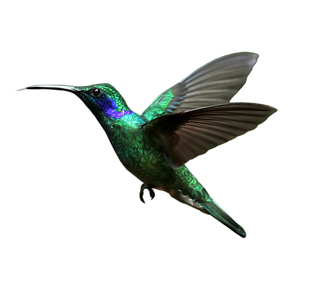 hummingbird transparent background png mart #36725