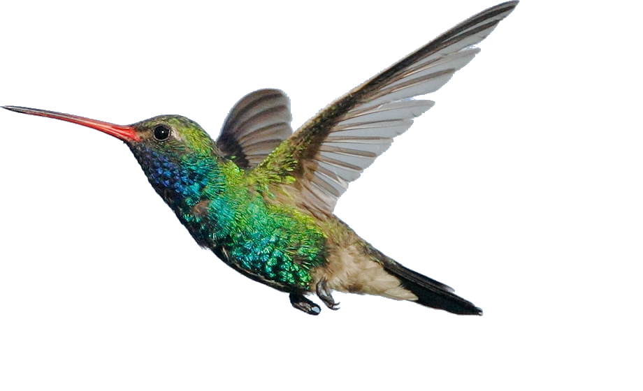 hummingbird transparent download best hummingbird #36798