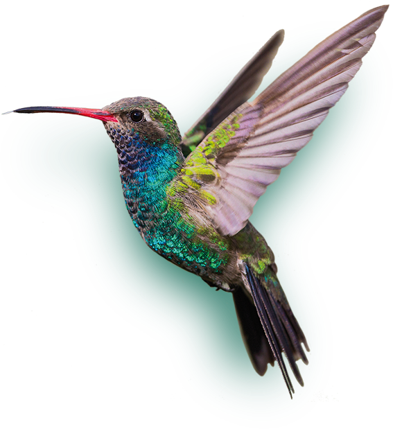 image result for kolibrie hummingbird world birds #36800