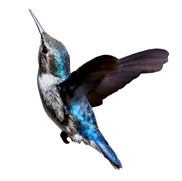 photo cuba colibri bird hummingbird turquoise #36790