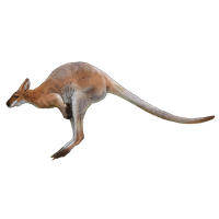 download kangaroo photo images and clipart #39228