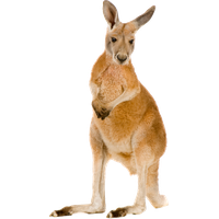 download kangaroo png photo images and clipart #39235