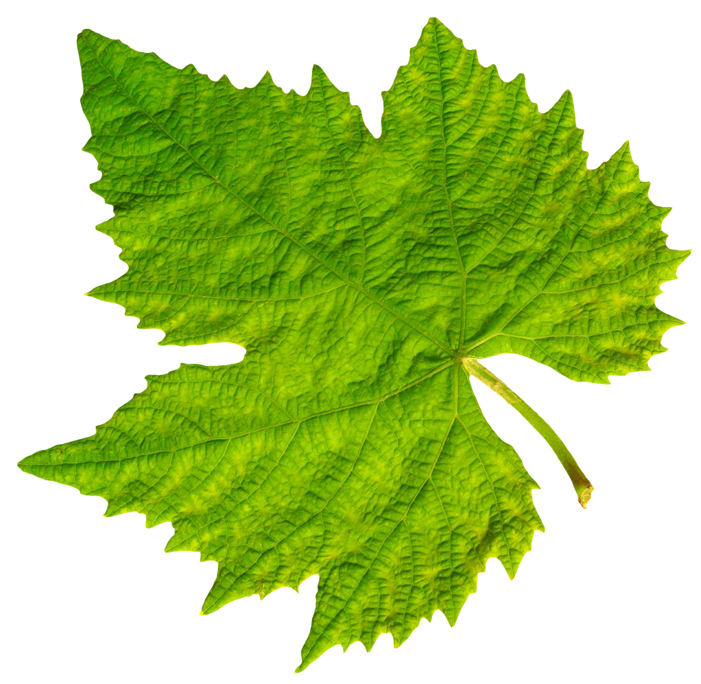 grape vine leaf png image pngpix