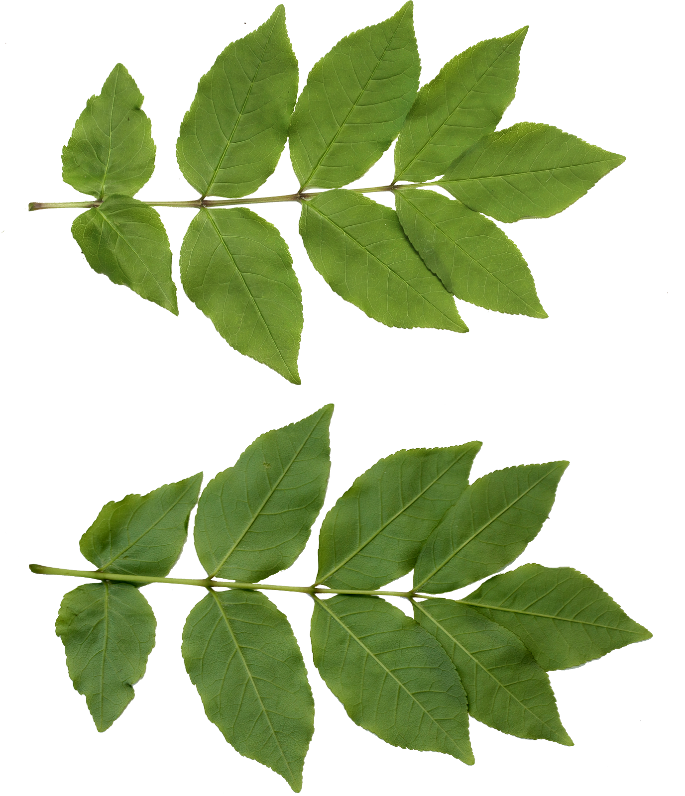 leaf texture png files texture #9869