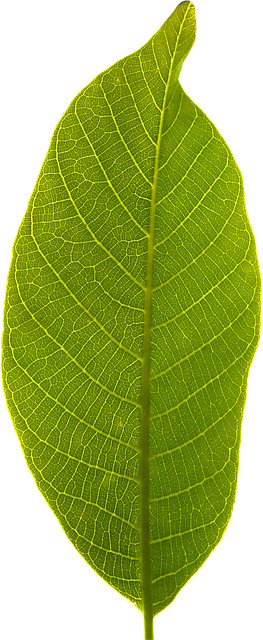 leaf transparent background photo pixabay 9875