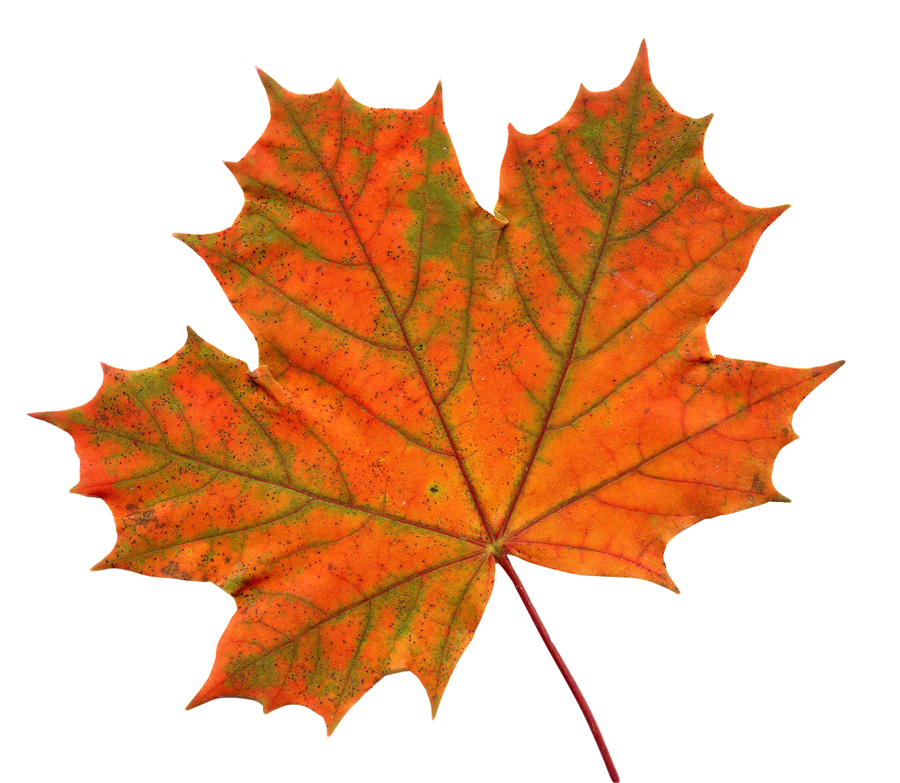 maple leaf png transparent image pngpix 9876