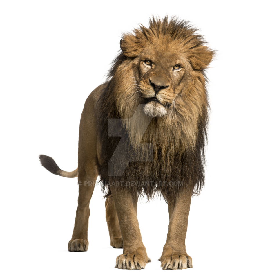 adult lion transparent background prussiaart #11278