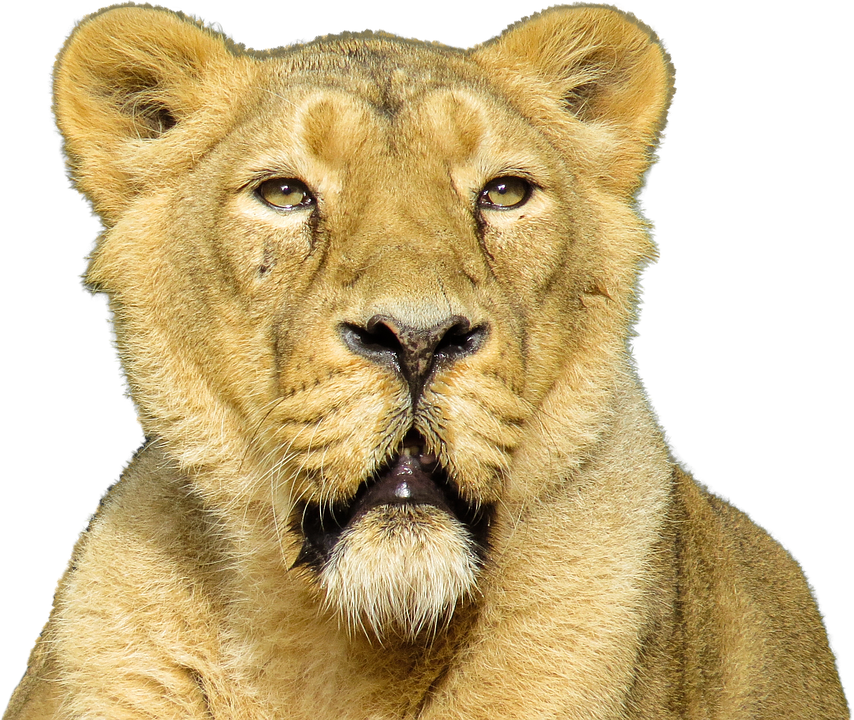 isolated animal lion photo pixabay #11293
