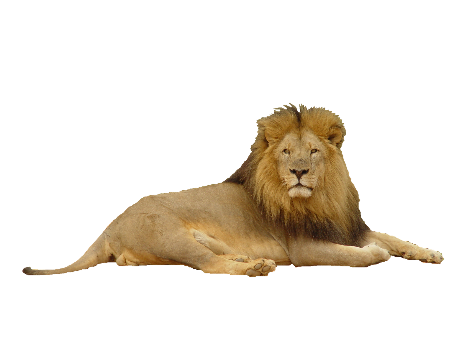 lion png photoscape editor manipulation friends king jungle #11217